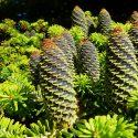 Coniferen tuin